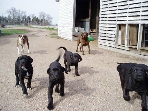 A litter of Boxador puppies running towards the camera with their parents running behind them next to a white barn and a dirt road in the background