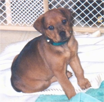 A small, brown with black Boxer/Rottweiler mixed breed puppy is wearing a green collar sitting on a white blanket with a green towl in front of it with a white plastic and wood baby gate behind it.