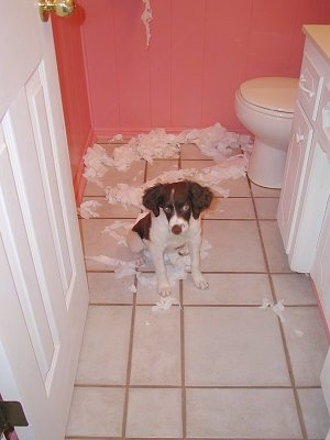 Samantha the Brittany Spaniel puppy is sitting in a bathroom with chewed up toilet paper behind her