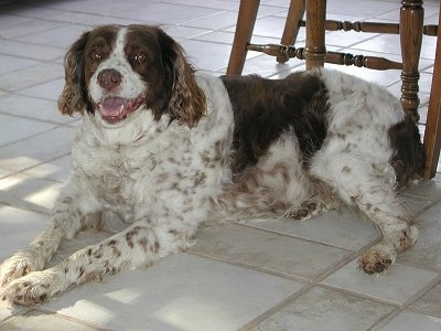 Jazz the Brittany Spaniel laying on a white tiled kitchen floor with wooden chairs behind her