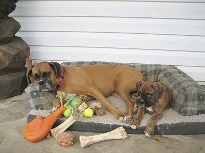 Allie the Boxer sharing the outside dog bed with Bruno the Boxer. All the toys are on Allies side