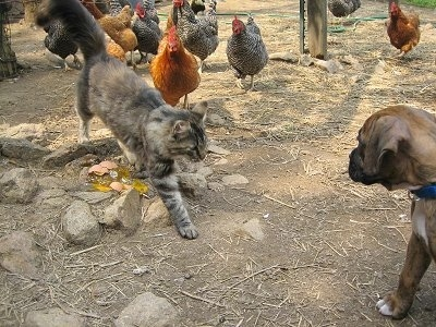 Maggie the cat walking over to Bruno the Boxer puppy with chickens in the background