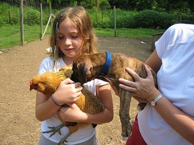 A person holding Bruno the Boxer puppy letting him smell Carmel the chicken, which Sara is holding