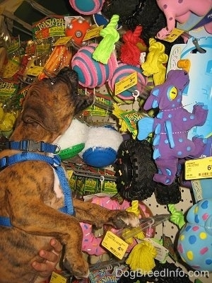 Bruno the Boxer trying to get a toy ball off the store shelf