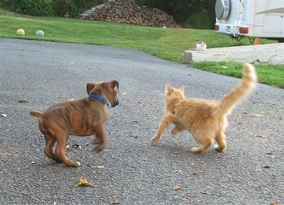 Bruno the Boxer chases Waffle the cat