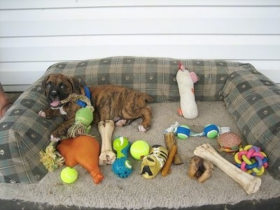 Bruno the Boxer puppy laying in an outside dog bed with a bunch of dog toys in the bed
