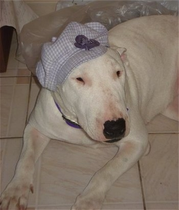 Sasha the Bull Terrier wearing a light purple hat and laying on a tiled floor with a clear plastic bag behind her