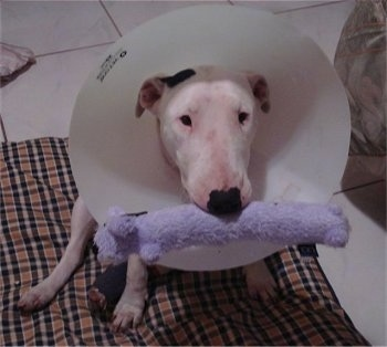 Sasha the Bull Terrier wearing a dog cone around her neck with a light purple plush weasel toy in her mouth