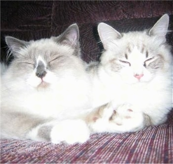 Close Up - Jules the blue point mitted Ragdoll Cat and Tobi the mitted Ragdoll Cat are sleeping together on a couch