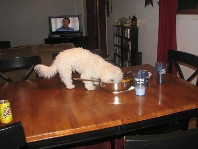 Border Collie Knocking Over Plant Bichon On The Kitchen Table