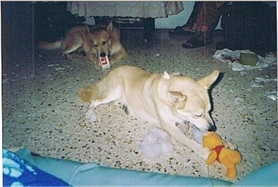 Rudy and Robin the Lab/Husky Mixes are chewing up a KFC container and Winnie the Pooh plush toy