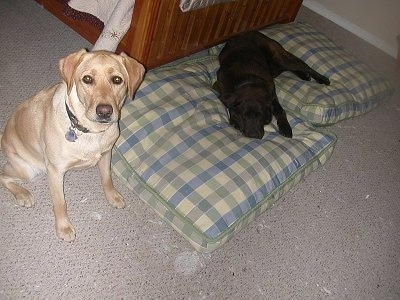 Sady the yellow Lab is sitting next to a set of dog bed pillows. Wilbur the Chocalate Lab is sleeping on both of the dog beds in front of a human's bed