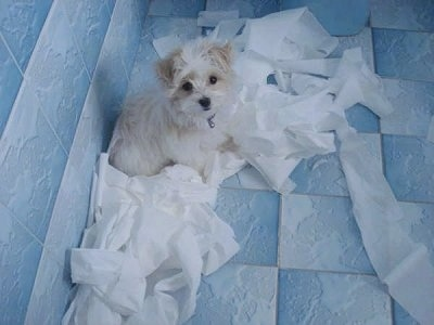 Daisy the Malti-poo is sitting in a blue bathroom and surrounded by toilet paper which is all over the floor