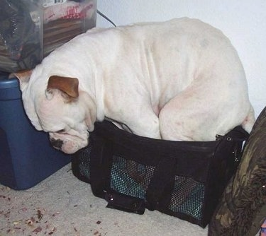 Brandy Ann the Olde Victorian Bulldogge is trying to sit in a small carrier and looking at the ground