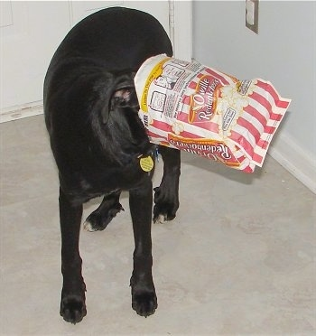 Jake the Pointer Bay Puppy has a bag of Orville Redenbacher microwave popcorn on his head in front of a front door