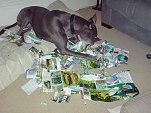 Greyhound Chewing up Magazines