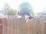 Smooth Fox Terrier Mix is jumping a fence