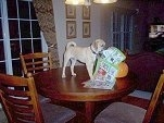 Puggle standing on the Dining Room Table and chewing up a magazine