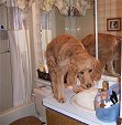 Goldendoodle Puppy standing on the Bathroom Sink!