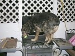 Aussie/ Rott Mix Caught on the Grill Retrieving a Ball!