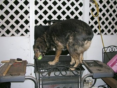 Tassloff the Aussie/ Rott mix is standing on a grill with a tennis ball in his mouth.