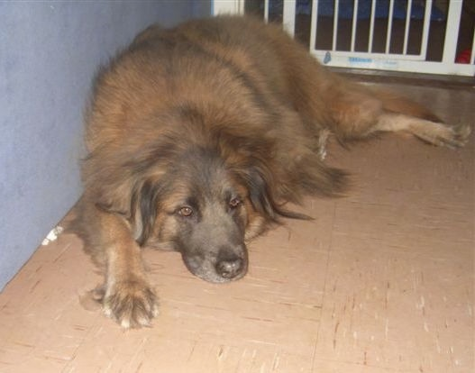 Rio the Cão da Serra da Estrela is laying against a wall in a house in front of a gate