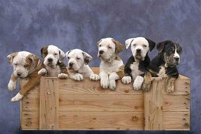A Litter of Catahoula Bulldog Puppies on a Blue backdrop and they are in a wooden box