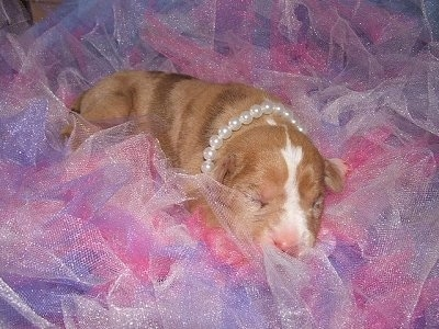 A Catahoula Bulldog Puppy is wearing pearls and laying in pink and purple Frill