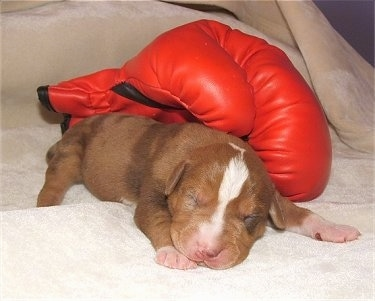 A Catahoula Bulldog Puppy is laying on a towel with a red boxing glove laying next to it