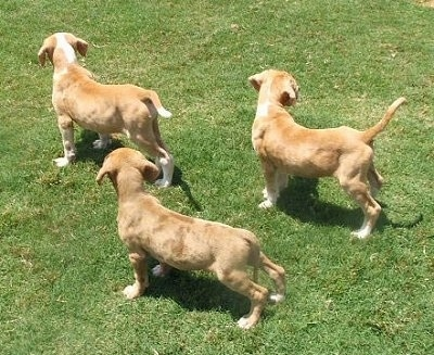 Three Catahoula Bulldog puppies are looking towards the right
