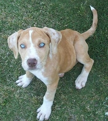 9 week old merle Catahoula Bulldog puppy.
