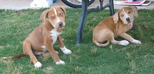 9 week old merle Catahoula Bulldog puppies.
