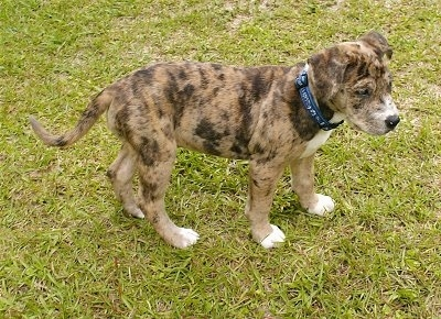 Tinkerbelle, a Catahoula Bulldog puppy