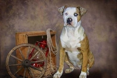 Catahoula Bulldog is sitting next to a wooden box and a lantern is inside of it with a wooden wheel leaning on it and a rope hanging in the corner. The Backdrop is photoshopped