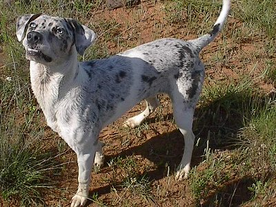 Blue, the Catahoula Leopard Dog at 1 year old