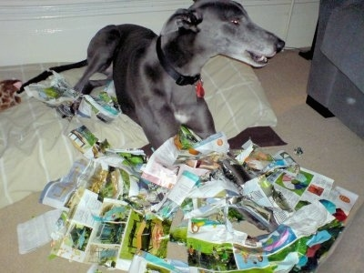 Razor the Greyhound is laying on a pillow dog bed and magazine pieces are everywhere in fornt of him