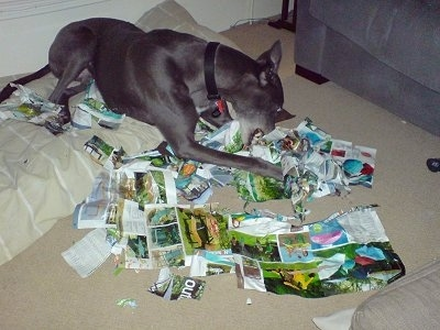 Razor, the Greyhound caught in the act of ripping apart one of our magazines, having lots of fun!