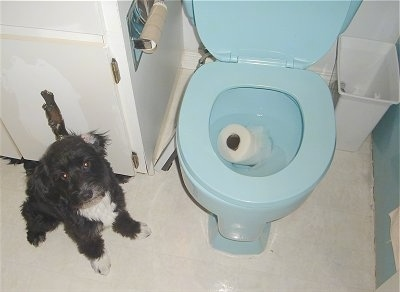 Rozzi the Poodle / Bichon / Scottie mix is sitting in a bathroom next to a toilet with a wet roll of toilet paper in the blue toilet bowl