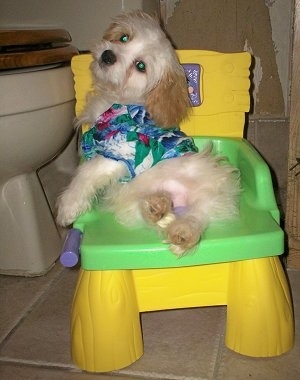 A Cavaton laying on a yellow and green child-size plastic potty chair with an adult size toilet behind it