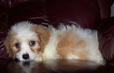 A Cavaton puppy laying on a maroon leather couch looking forward