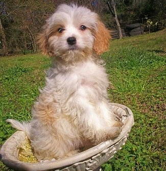 Cavaton Puppy is sitting outside in an empty bird bath