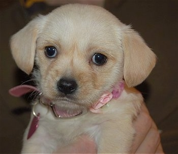 "Brandy the Westie / Cavalier Hybrid as a young puppy— ""She is as"