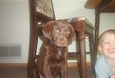 Princess Baby Rascal, the Chesador (Chesapeake Bay Retriever / Lab hybrid) as a puppy