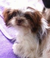 Chihuahua / Lhasa Apso hybrid (Chi Apso) at 11 months old weighing 6½ pounds (2.9kg)