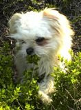 Theissen the Chi Apso outside standing in green weeds