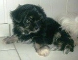 Chi Apso puppy laying against a wall on a white tiled floor in front of a shaggy dog