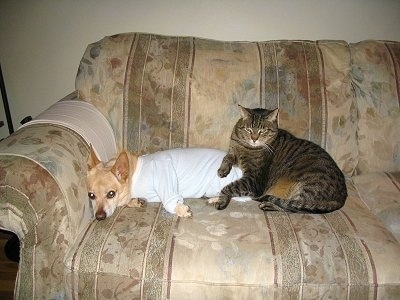 Brady the Chigi laying on a couch and is wearing a white t-shirt next to Moses the cat who is laying on Brady the Chigi