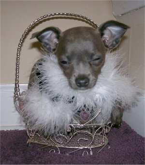 Mabel the Chihuahua puppy is laying in a basket and its eyes are only a little bit open. It is wearing a jacket with frills on the edges and his eyes are squinted