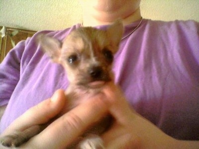 Chinese Crested Puppies on Chinaranian  Chinaranians  Chinese Crested Pomeranian Hybrid Dogs