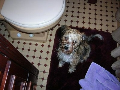 Gracie the wet Chinese Crested Powderpuff is sitting in front of a toilet and on a red rug next to a purple towel